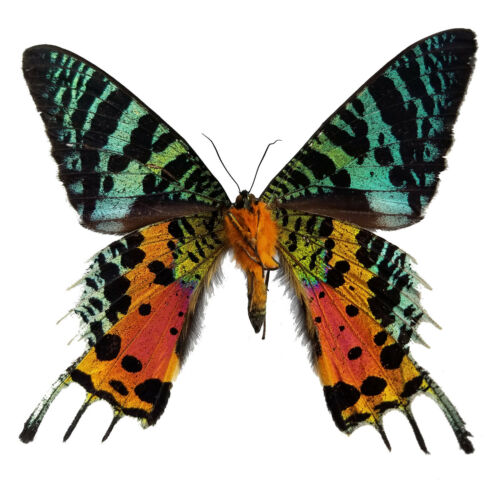 REAL Madagascar Sunset Moth Urania ripheus A1 Unmounted, US SELLER! Butterfly