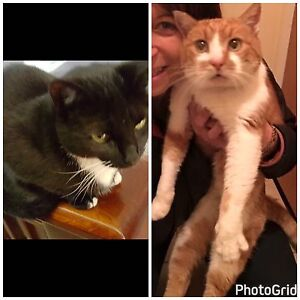 $50 desexed cats needing urgent homes Austins Ferry Glenorchy Area Preview