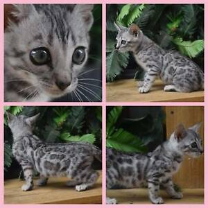 Silver female Bengal Kitten(girl 3)