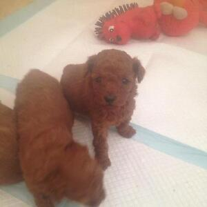 Tiny Toy Poodle Dark Red puppies Crookwell Upper Lachlan Preview