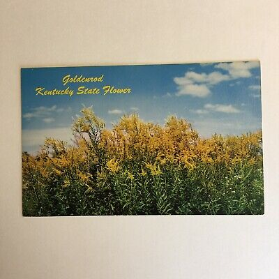 Goldenrod State Flower of Kentucky Unposted Postcard