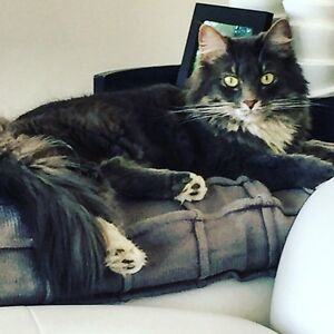 Adult Female Cat to Rehome for Free
