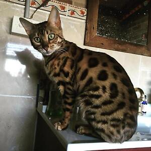 5 x Bengal X kittens Woodberry Maitland Area Preview