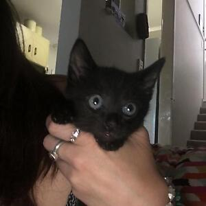 KITTEN FOR SALE!!! Highland Park Gold Coast City Preview