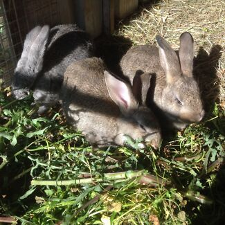 RABBITS Beautiful Baby Rabbits Giant Flemish X Tweed Heads 2485 Tweed Heads Area Preview