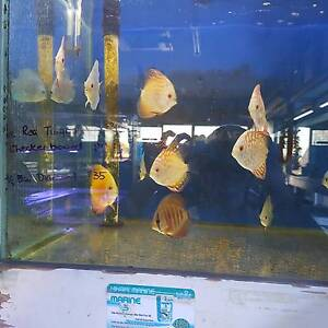 SMALL DISCUS CHRISTMAS SPECIAL $25.00 / Freshwater/ tropical fish Cabramatta West Fairfield Area Preview