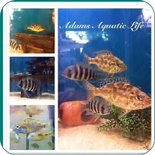 African cichlids Amaroo Gungahlin Area Preview
