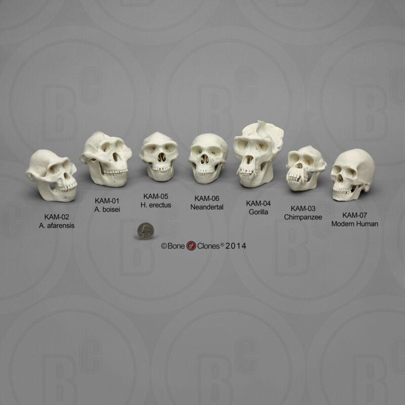 Hominid Skull Collection—Human Evolution