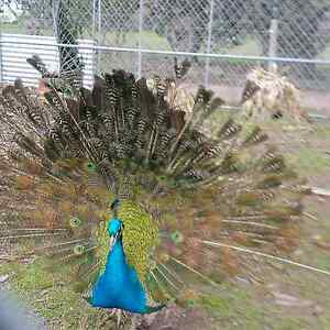 Peacocks for sale M/F Lethbridge Golden Plains Preview