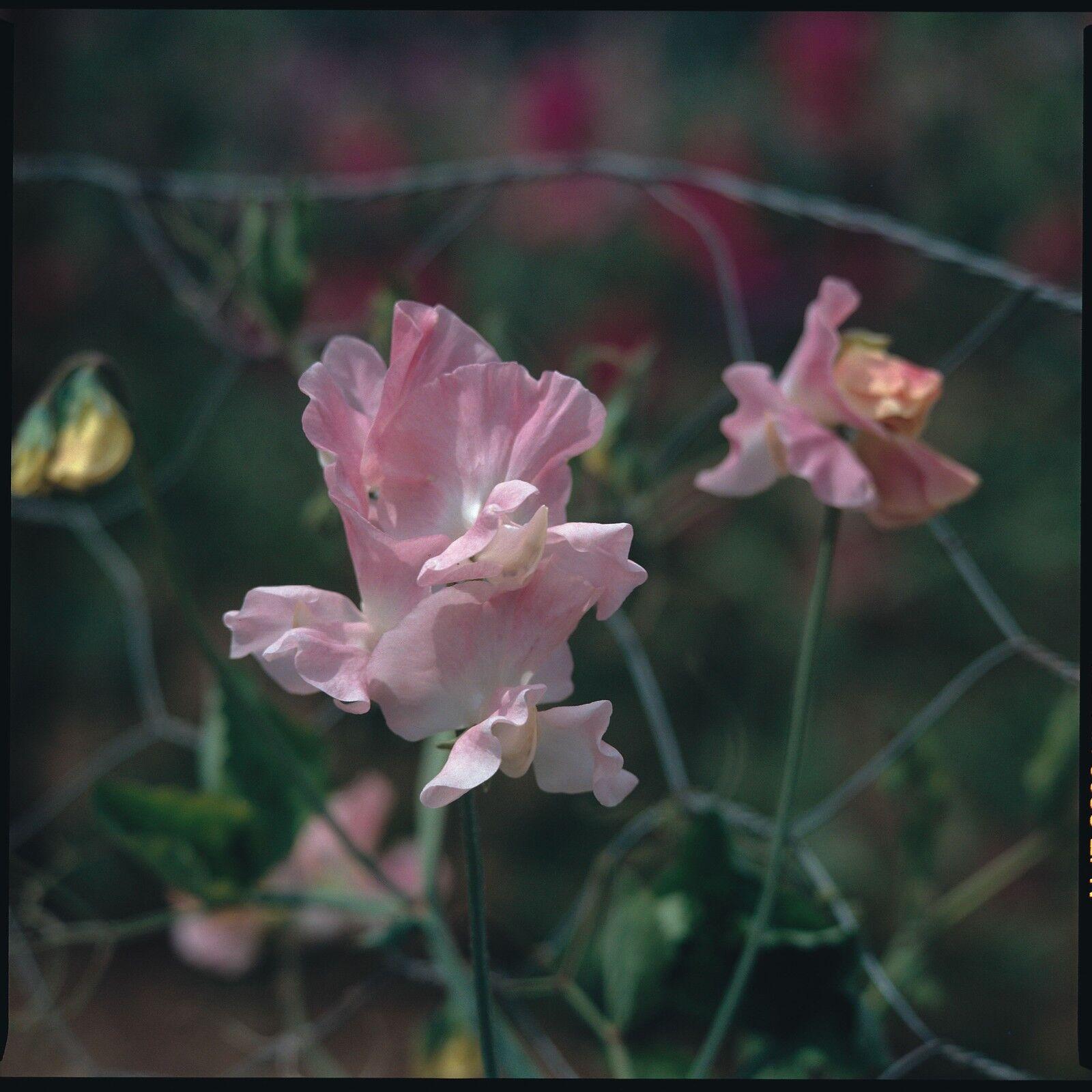 Pois de Senteur-variété Spencer-Rose Géranium 100 graines-Gros paquet