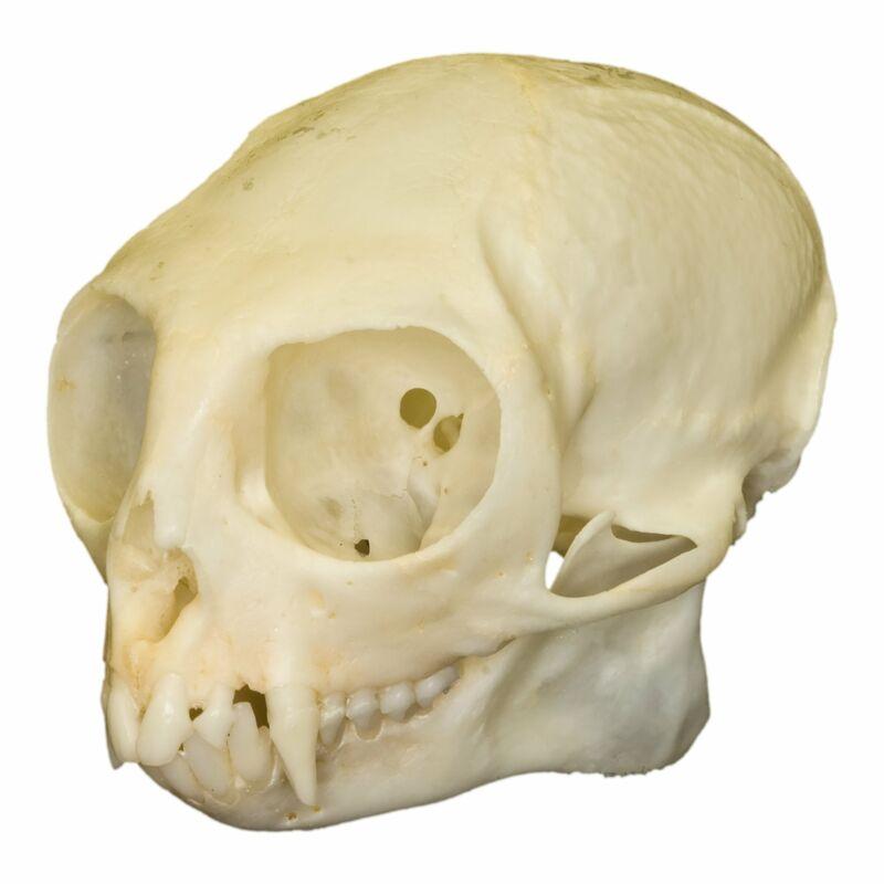 Real Common Marmoset Skull