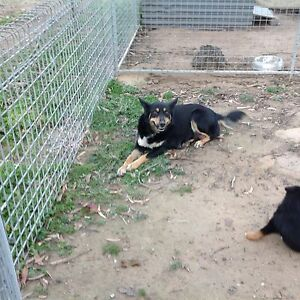 Kelpie pups Orangeville Wollondilly Area Preview