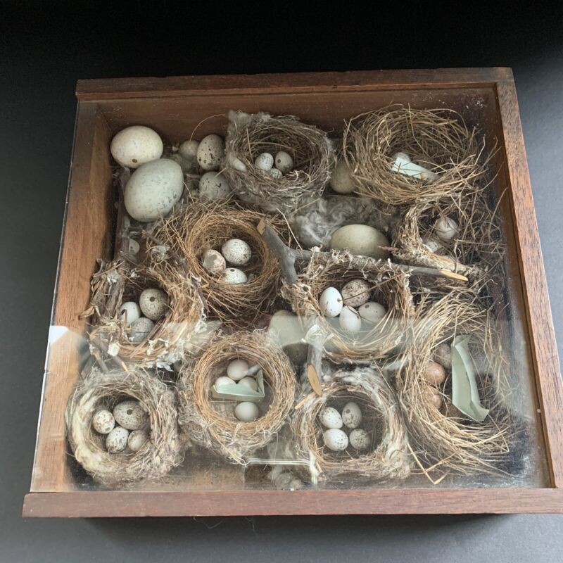 Vintage bird nest collection in wooden box, glass cover