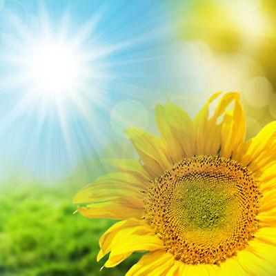 Ароматизированные палочки, благовони Sunflower Hand Dipped