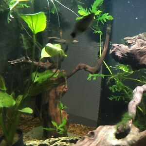 12-inch Driftwood Tree with java moss