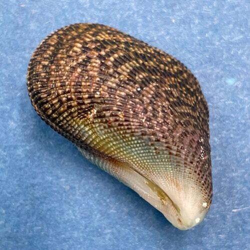 #4 Septifer bilocularis 24.6mm Off Mactan Island, Cebu, Philippines Mytilidae