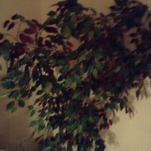 6 foot fig tree