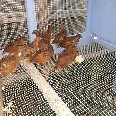 Tennessee Red Bob White Quail Fertile Hatching Eggs 3 Dozen 36