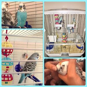 Beautiful Turquoise and White Budgies with Bird Cage