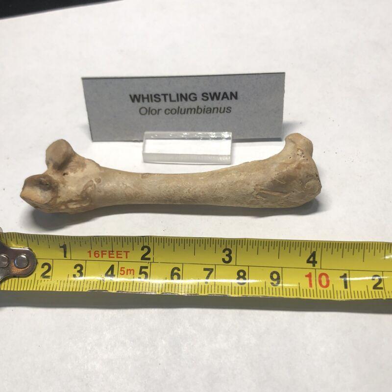 Pleistocene Fossil Whistling Swan Bird Leg Bone From Dixie Co. Florida