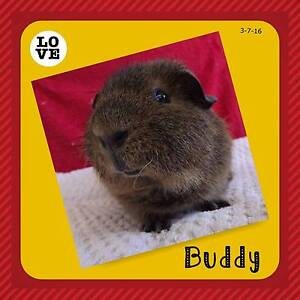 Adult Male REX Guinea Pig for sale Thorneside Redland Area Preview