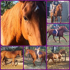 Beautiful tb mare Jimboomba Logan Area Preview