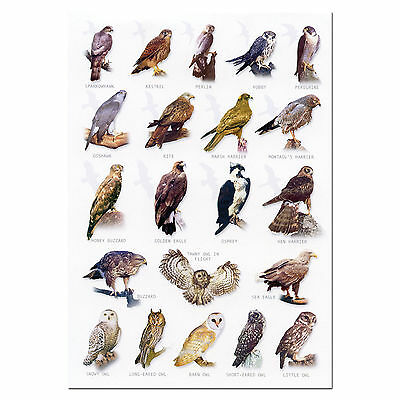 Birds of Prey Owl A5 Identification Card Chart Postcard