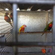 Mutation lorikeets Chuwar Brisbane North West Preview