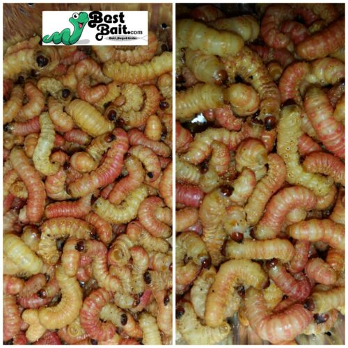 Butterworms, Butter Worms,  Live Bait Pet Feeders Free Shipping