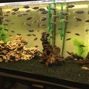 African cichlids yellow tail ac