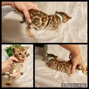 Top quality TICA registered Bengal kittens!
