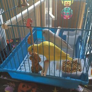 Blue or Yellow Parrotlet Baby
