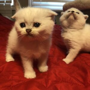 SCOTTISH FOLD GIRLS FOR SALE !!!