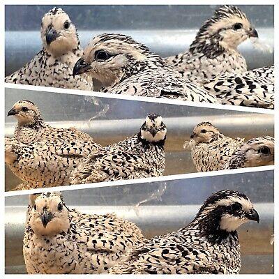 6 Quail Snow Flake Bobwhite Hatching Eggs Shipping Now