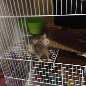 NEED NEW HOME: 2 young male rats (3 mths old) Mooloolaba Maroochydore Area Preview