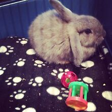Baby Male Mini Lop Angora Cross Chittaway Point Wyong Area Preview