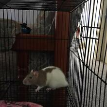 Rats for Sale Umina Beach Gosford Area Preview