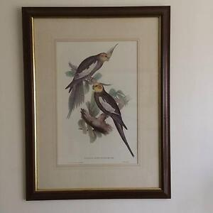 Framed Gould Bird Reproduction 'Nymphicus' Cheltenham Kingston Area Preview
