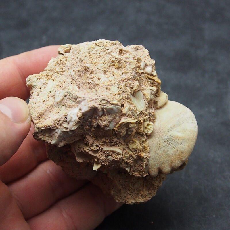Echinoid in stone Rotuloidea fimbriata Fossil Natural Sea Urchin Fossilien