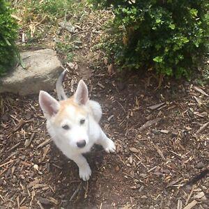 German Shepherd X Husky/Maremma Puppy
