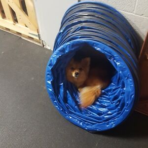 Pomeranian mix looking for home