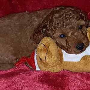 Red FemaleToy Poodles Cobbitty Camden Area Preview