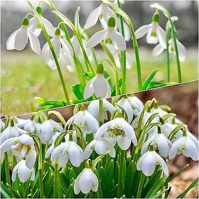 50 Single & 50 Double Snowdrops Top Quality Freshly Lifted Flowering Size Bulbs