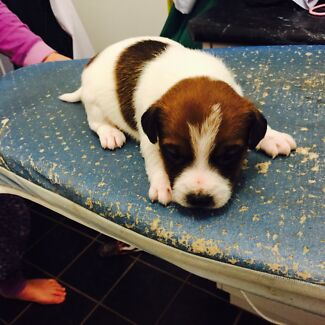Jack Russell pups Coolamon Coolamon Area Preview