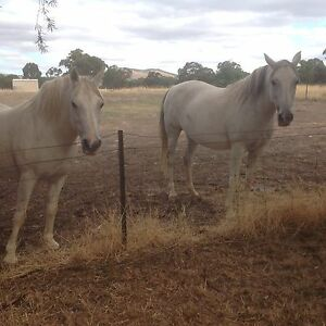 Welshpony x Arab gelding  18 years old colour fleabitten Avoca Pyrenees Area Preview