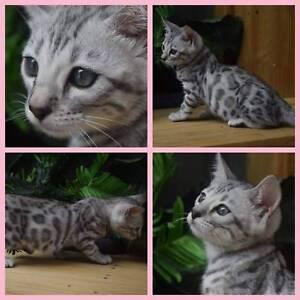 Silver female Bengal Kitten(girl 2)