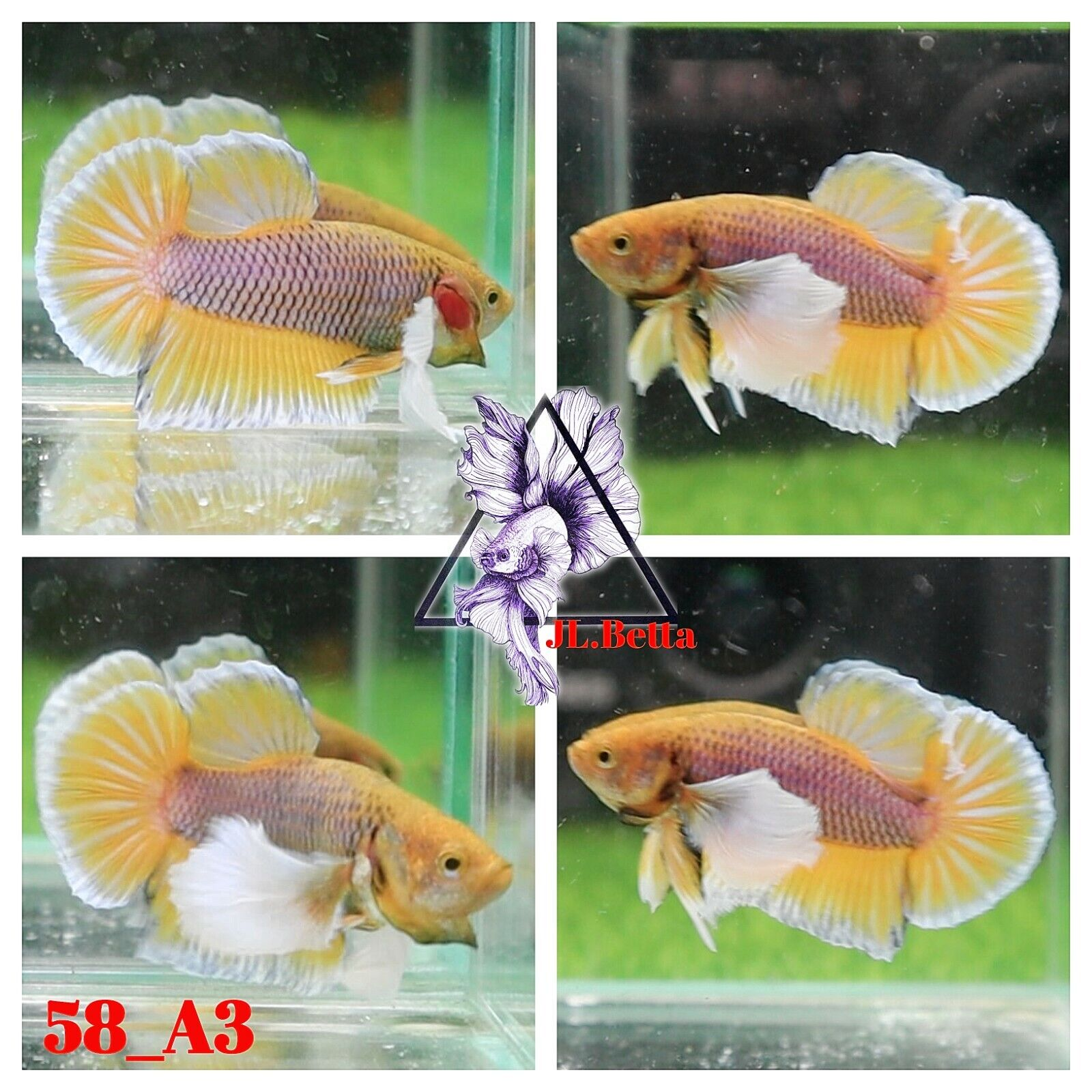 58 A3 Live Betta Fish High Quality Male Yellow Dumbo Plakat Video Included  - $25.00