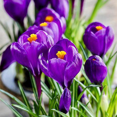100 CROCUS BULBS Purple Flower Record Spring Large Flowering Crocus Bulbs Corms