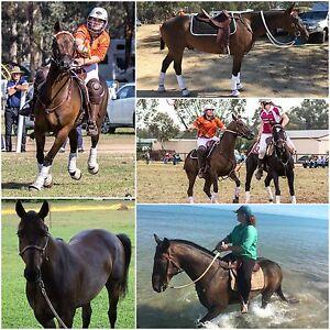 7yo Polocrosse Gelding Warwick Southern Downs Preview