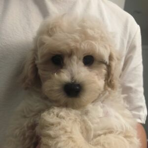ONLY 1 toy poodle puppy left and READY TO PICK UP !